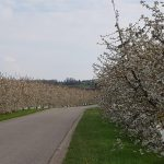 Kirschblüten in Veltheim