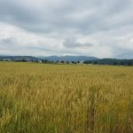 Getreidefeld im Birrfeld